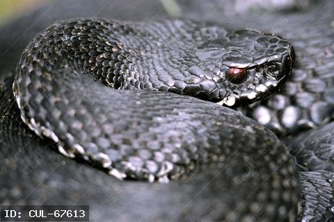 Keresztes vipera (Vipera berus) fekete színváltozata, a viperafélék (Viperidae) családjából. Magyarország két mérges kígyó fajának egyike. Nevét jellegzetes mintázatáról kapta. Mérgének viszonylag alacsony a toxicitása. Mint minden hazai kétéltű- és hüllőfaj, védett.